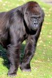 Western Lowland Gorilla Stock Images
