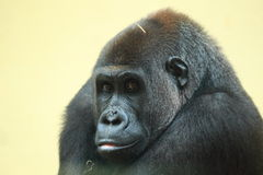 Western lowland gorilla Stock Photography