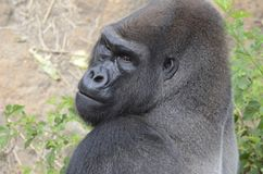 Western lowland gorilla. A large male western lowland gorilla looks into camera Royalty Free Stock Photos