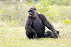 Western lowland gorilla Royalty Free Stock Photos