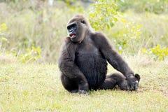 Western lowland gorilla Royalty Free Stock Photos
