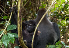 Western Lowland Gorilla. Adult male - Silverback and cub. Puberal male and young gorilla Stock Photo