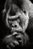 Western Lowland Gorilla BW II Stock Photo