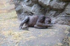Western Lowland Gorilla checking her finger stock photos