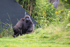 Western lowland gorilla with cub. Royalty Free Stock Photography