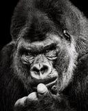 Western Lowland Gorilla X. Frontal Portrait of a Western Lowland Gorilla Royalty Free Stock Photo