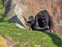 Western Lowland Gorilla, Gorilla g. gorila, teaches the young to collect food. The Western Lowland Gorilla, Gorilla g. gorila, teaches the young to collect food royalty free stock image
