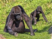 Western Lowland Gorilla, Gorilla g. gorila, teaches the young to collect food. The Western Lowland Gorilla, Gorilla g. gorila, teaches the young to collect food stock photo