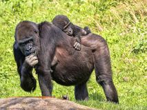 Western Lowland Gorilla, Gorilla g. gorila, wears a cub on her back. The Western Lowland Gorilla, Gorilla g. gorila, wears a cub on her back stock photos
