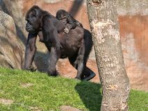 The Western Lowland Gorilla, Gorilla g. gorila, wears a cub on her back. The The Western Lowland Gorilla, Gorilla g. gorila, wears a cub on her back royalty free stock photo