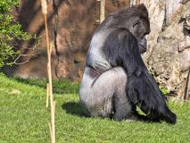 Western Lowland Gorilla, Gorilla g.gorila, adult male Silver back. The Western Lowland Gorilla, Gorilla g.gorila, adult male Silver back Stock Photos