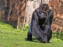 Western Lowland Gorilla, Gorilla g.gorila, adult male Silver back. The Western Lowland Gorilla, Gorilla g.gorila, adult male Silver back royalty free stock image