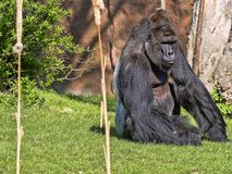 Western Lowland Gorilla, Gorilla g.gorila, adult male Silver back. The Western Lowland Gorilla, Gorilla g.gorila, adult male Silver back Royalty Free Stock Photos