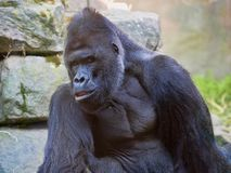 Western Lowland Gorilla, Gorilla g.gorila, adult male Silver back. The Western Lowland Gorilla, Gorilla g.gorila, adult male Silver back Royalty Free Stock Images