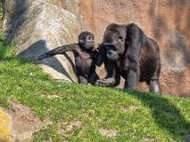 Western Lowland Gorilla, Gorilla g. gorila, teaches the young to collect food. The Western Lowland Gorilla, Gorilla g. gorila, teaches the young to collect food stock photos
