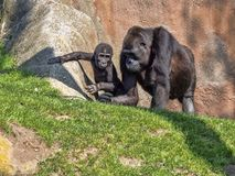 Western Lowland Gorilla, Gorilla g. gorila, teaches the young to collect food. The Western Lowland Gorilla, Gorilla g. gorila, teaches the young to collect food stock photography