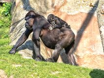 Western Lowland Gorilla, Gorilla g. gorila, teaches the young to collect food. The Western Lowland Gorilla, Gorilla g. gorila, teaches the young to collect food royalty free stock photography