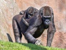Western Lowland Gorilla, Gorilla g. gorila, wears a cub on her back. The Western Lowland Gorilla, Gorilla g. gorila, wears a cub on her back royalty free stock photo