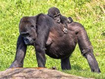 Western Lowland Gorilla, Gorilla g. gorila, wears a cub on her back. The Western Lowland Gorilla, Gorilla g. gorila, wears a cub on her back stock photography
