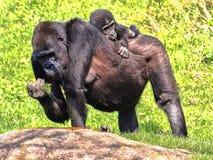 Western Lowland Gorilla, Gorilla g. gorila, wears a cub on her back. The Western Lowland Gorilla, Gorilla g. gorila, wears a cub on her back royalty free stock photography