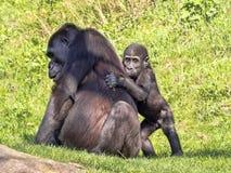 Western Lowland Gorilla, Gorilla g. gorila, wears a cub on her back. The Western Lowland Gorilla, Gorilla g. gorila, wears a cub on her back royalty free stock photos