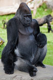Western Lowland Gorilla (Gorilla gorilla gorilla). The photo represents the Gorilla, and it seems that the gorilla likes to be photographed Royalty Free Stock Photography