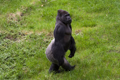 Western lowland Gorilla (Gorilla gorilla gorilla). A male Western lowland Gorilla (Gorilla gorilla gorilla Royalty Free Stock Image