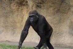 Western Lowland Gorilla - Gorilla gorilla gorilla Stock Photography