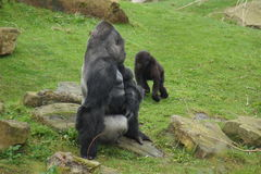Western Lowland Gorilla - Gorilla gorilla gorilla Royalty Free Stock Photography