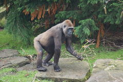 Western Lowland Gorilla - Gorilla gorilla gorilla Stock Images