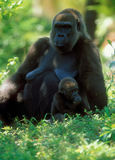 Western Lowland Gorilla (Gorilla gorilla gorilla), Africa. With baby Stock Photo
