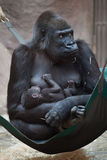 Western lowland gorilla (Gorilla gorilla gorilla) with baby. Royalty Free Stock Photography