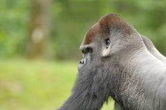 Western lowland gorilla (Gorilla gorilla gorilla). Lowland Gorillas primarily live in rain forests, swamp forest, brush, secondary vegetation, clearing and Stock Images