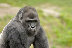 Western lowland gorilla (Gorilla gorilla gorilla). Lowland Gorillas primarily live in rain forests, swamp forest, brush, secondary vegetation, clearing and Royalty Free Stock Photo