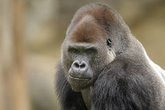Western lowland gorilla (Gorilla gorilla gorilla). Lowland Gorillas primarily live in rain forests, swamp forest, brush, secondary vegetation, clearing and Stock Photography
