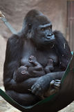 Western lowland gorilla (Gorilla gorilla gorilla) with its two-w Royalty Free Stock Photo