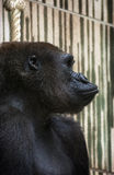 Western lowland gorilla (Gorilla gorilla gorilla) portrait Royalty Free Stock Photography