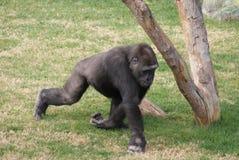 Western Lowland Gorilla - Gorilla gorilla gorilla - Silverback Stock Photo