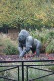 Western Lowland Gorilla - Gorilla gorilla gorilla - Silverback Royalty Free Stock Photo