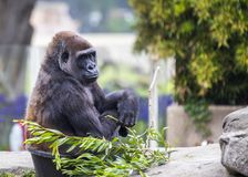 Western Lowland Gorilla (Gorilla gorilla gorilla). Spotted outdoors in the wild Stock Image