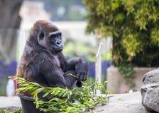 Western Lowland Gorilla (Gorilla gorilla gorilla) Stock Image