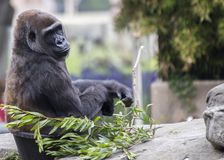 Western Lowland Gorilla (Gorilla gorilla gorilla). Spotted outdoors in the wild Royalty Free Stock Photos