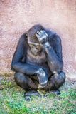 Western lowland gorilla is thinking Stock Photography