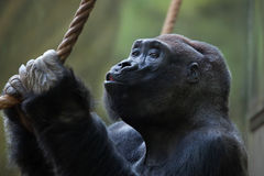 Western lowland gorilla (Gorilla gorilla gorilla). Wild life animal royalty free stock photo