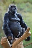 Western lowland gorilla (Gorilla gorilla gorilla). Wild life animal stock image
