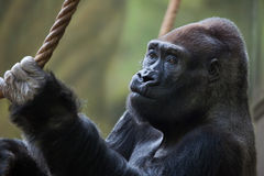 Western lowland gorilla (Gorilla gorilla gorilla). Wild life animal royalty free stock images