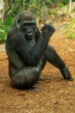 Western Lowland Gorilla - Gorilla gorilla stock photo