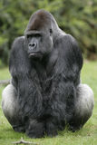 Western lowland gorilla, Gorilla gorilla Stock Photos
