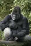 Western lowland gorilla, Gorilla gorilla Stock Photo