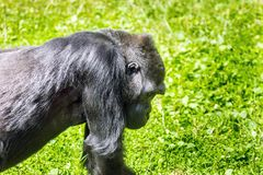Silverback - adult male of a gorilla. Western Lowland Gorilla. Stock Image
